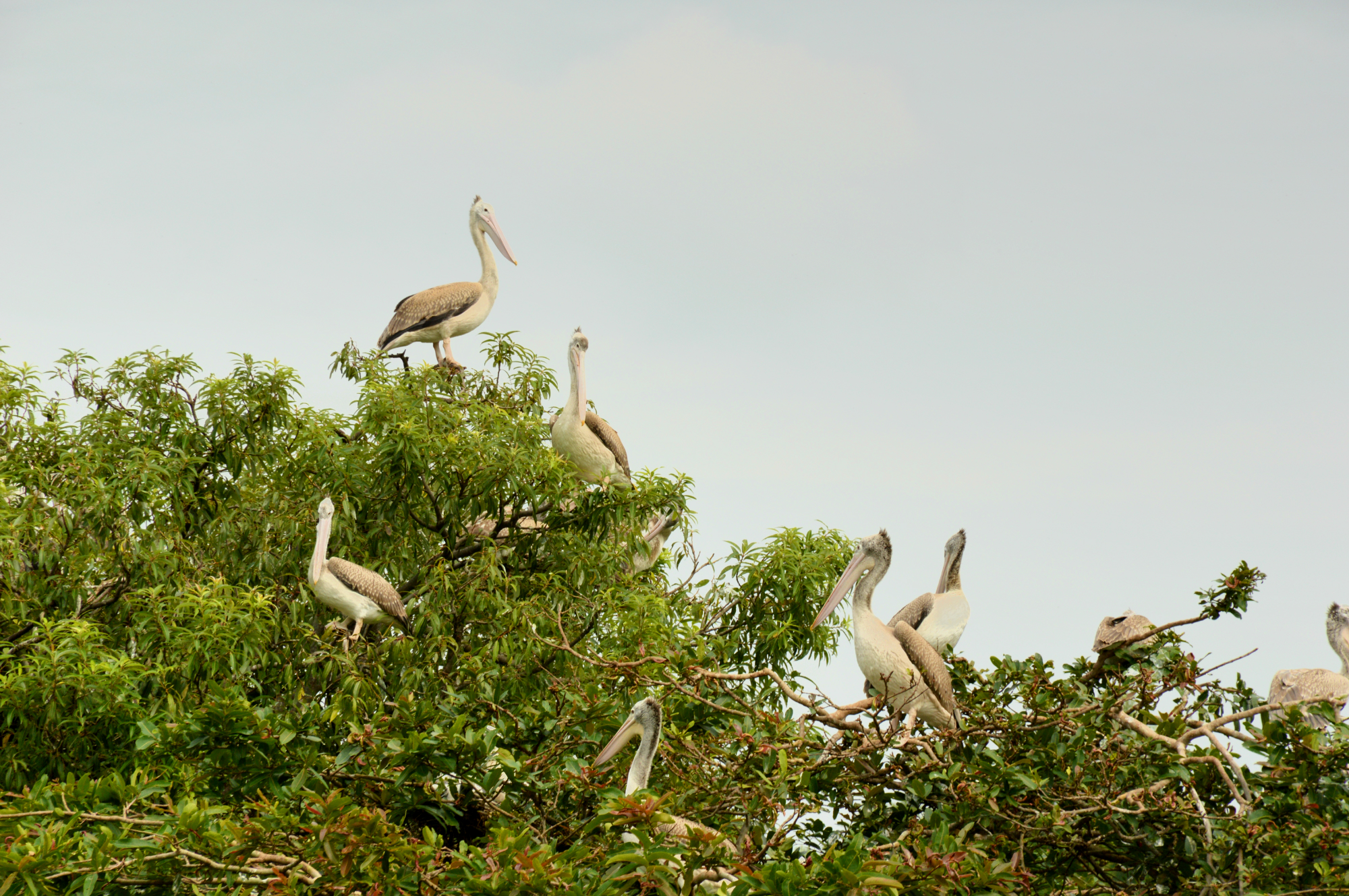 UNDERSTANDING INDIA: RANGANATHITTU BIRD SANCTUARY