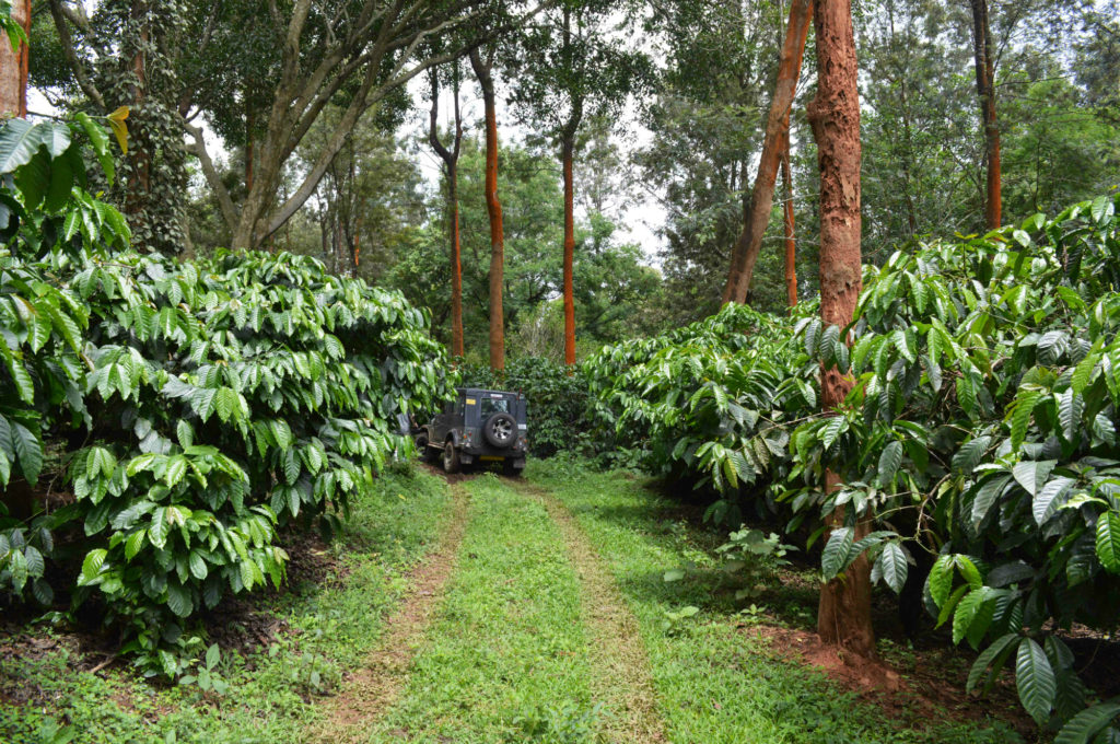 Understanding India: Around the Coffee Plantation